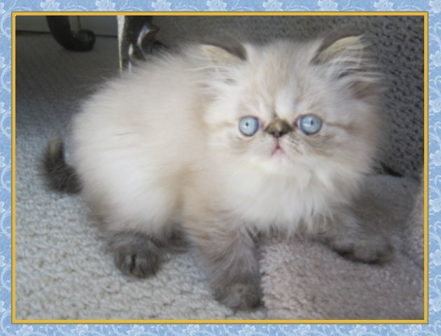 Blue Kittens For Sale : Himalayan kittens for sale new jersey blue point one day old