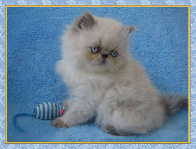 Himalayan Kittens for sale - New Jersey - Blue Point One Day